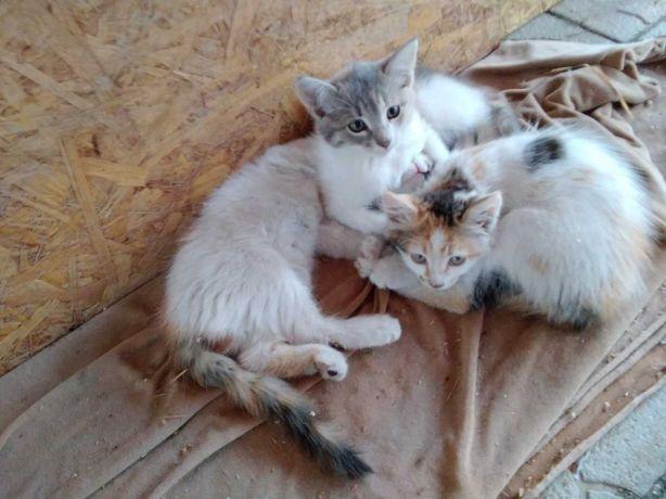 Котята_отдам_котенка девочку триколор, 2 мес, здорова
