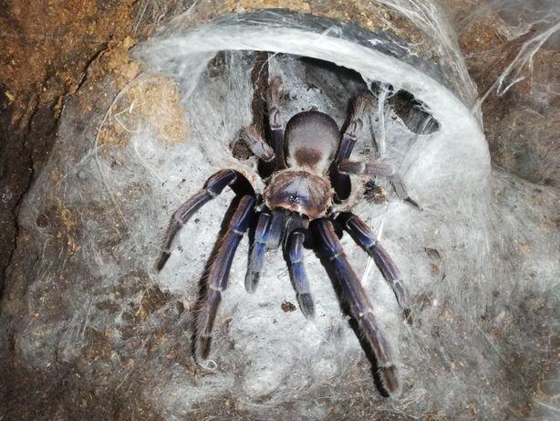 Chilobrachys blue vietnam samica dorosła duża