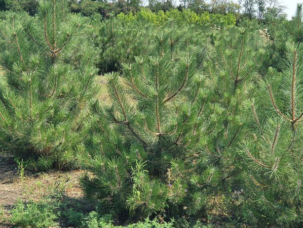 Сосна крымская(Pinus nigra ssp. Pallasiana)