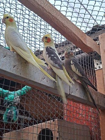 Papugi nimfy faliste