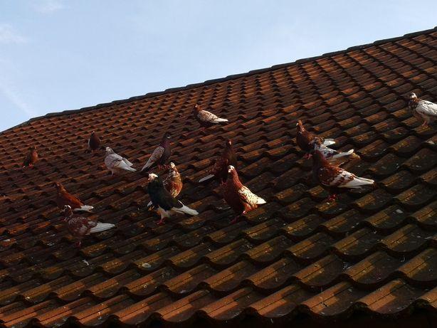 Gołębie domowe ozdobne