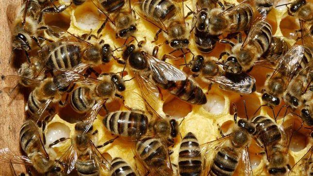 Продам  Пчелопакет Пчелосемью ,   Отводки Пчел