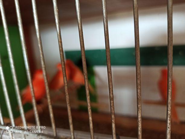 Kanarki czerwone