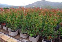 Photinia Red Robin 130/150cm Colunar
