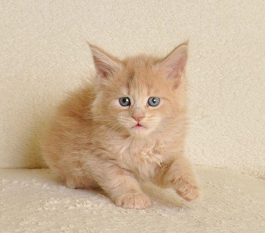 Śliczna koteczka po World Championie - rezerwacja
