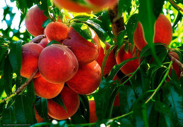 Продам саженцы персика