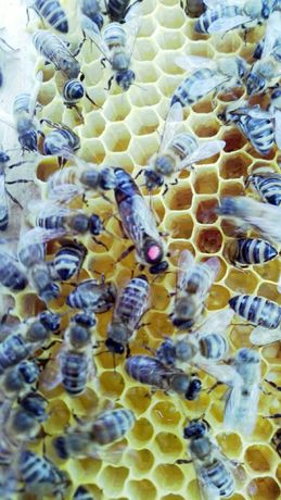 Продам плідні і неплідні матки бджіл