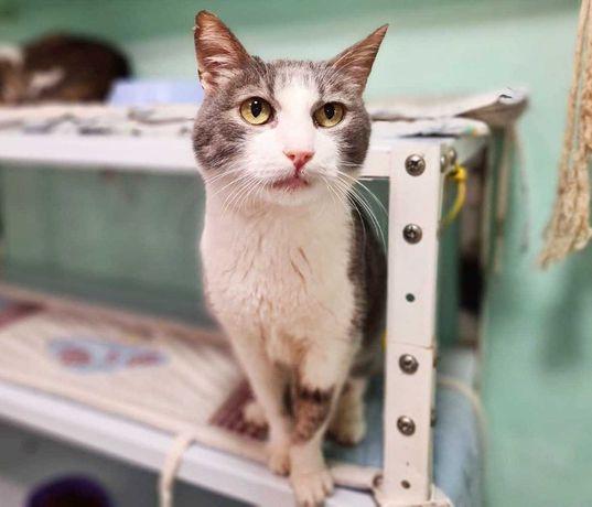 Дымчато-белая умничка- кошка Шеба | кошечка, котенок 1 год