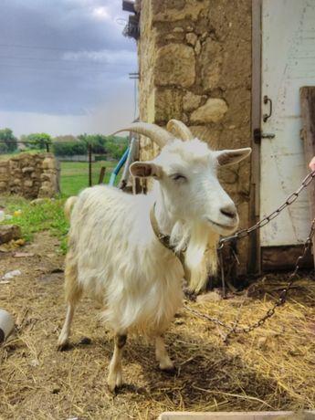 Продам стадо коз коза козы козлята