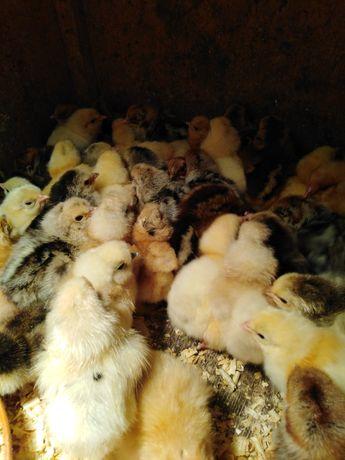 Sprzedam kurczaki brahmy brakil i zielononużki
