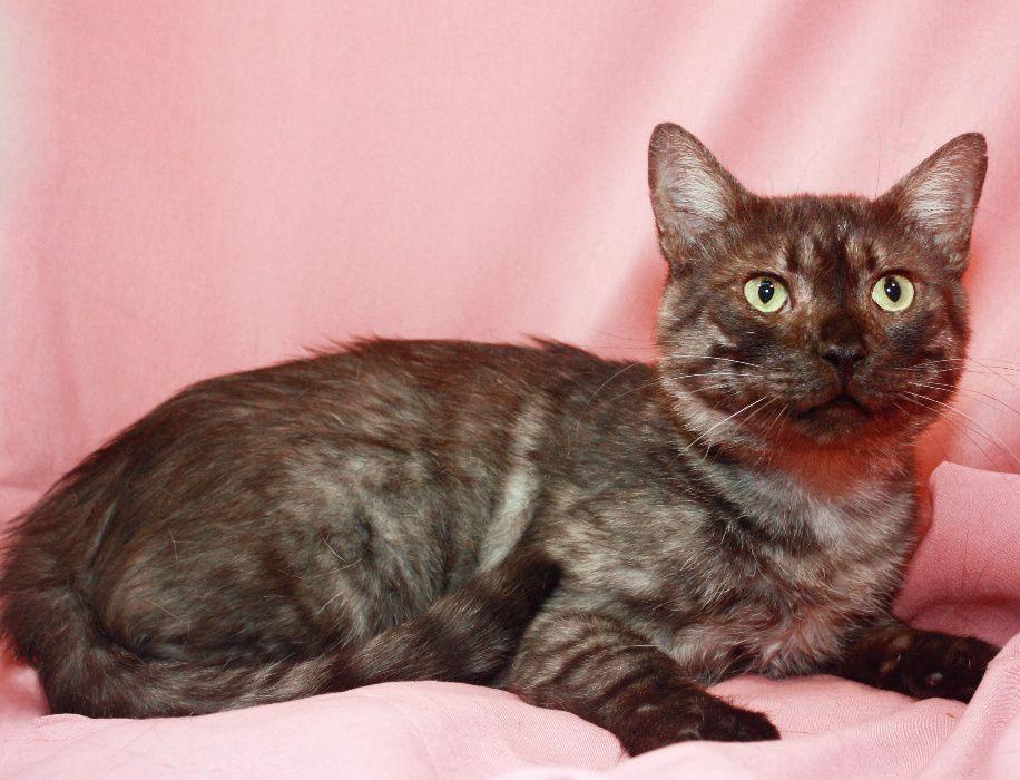 Кот Менни, молодой котик, дымчатый кот, 1,5 года Киев - изображение 1