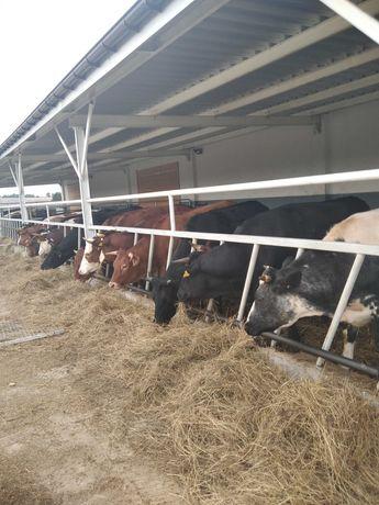 Jałówki cielne 13 sztuk mieszanki mięsne oraz byka LM