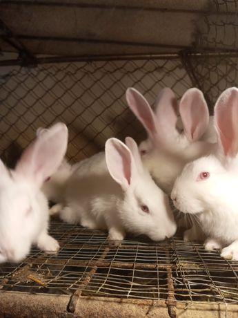 Продам кролів породи термонець і полтаву