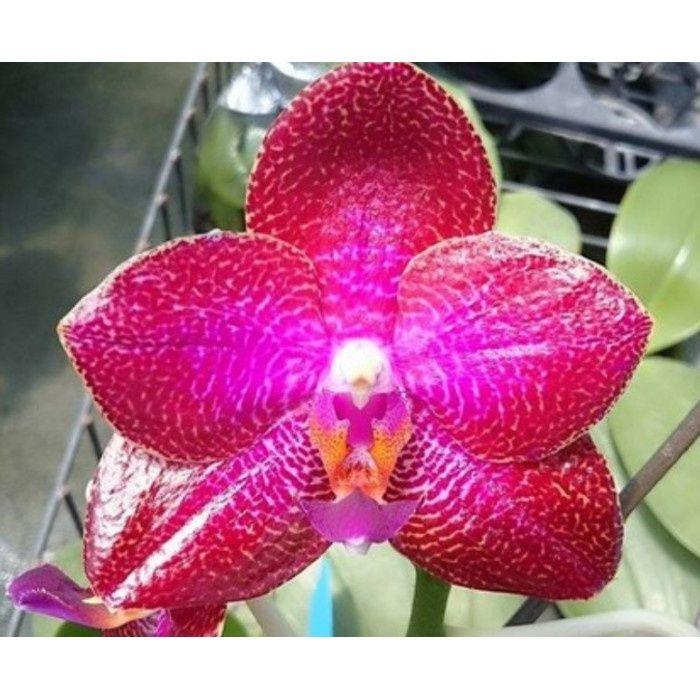 Орхидея фаленопсис LD Sun Dragon Miro