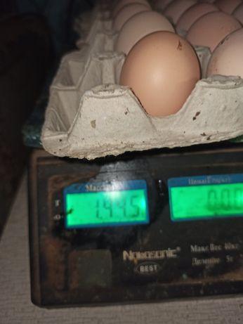 яйцо инкубационное и товарное
