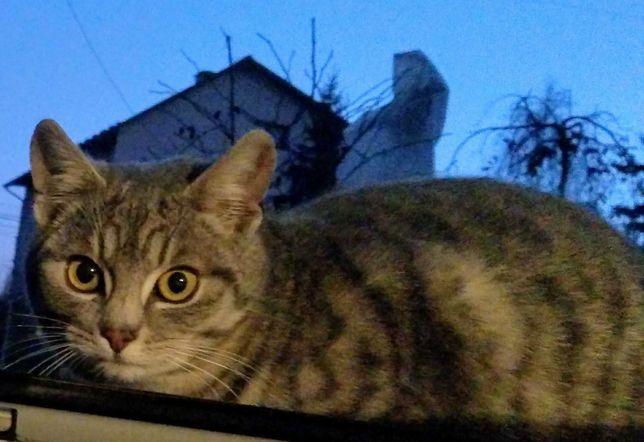 Piękny roczny, zdrowy kotek czeka na domek