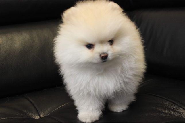 Szpic miniaturowy Pomeranian śliczna sunia unikatowa