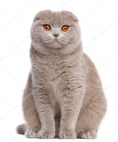 кошка кошке около 5 лет .вислоухая красивая .не шкодливая .ест вс е