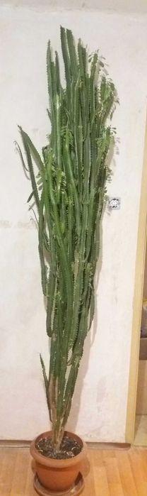Kaktus wilczomlecz 240 cm i 210 cm Rybnik - image 1