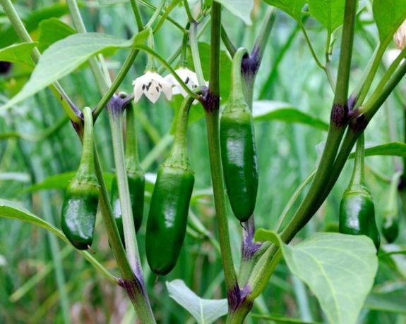 10 Sementes de pimenta Jalapeno