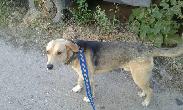собака русская гончая