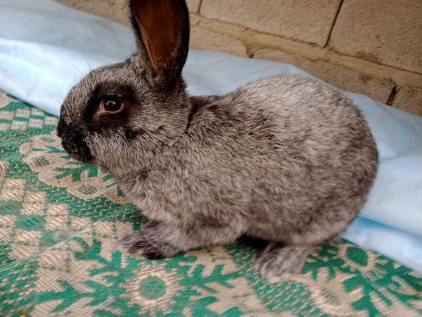 Кролики   Полтавське срібло (в паровку)