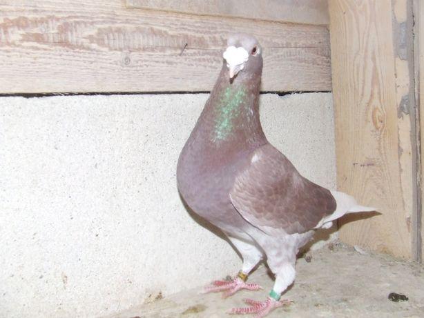 Gołąbki od Mariana nr 34 - gołębie staropolskie