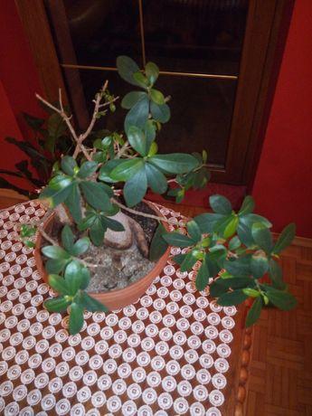 Bonsai drzewko szczęścia fikus ficus bonsai