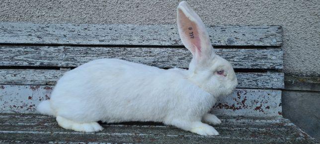 Кролі бельгійський велетень( кролики бельгийский великан)