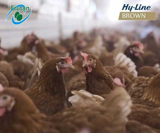 Młode kury nioski Hy-Line | 18 Tygodniowe | Brązowe | Dostawa gratis!