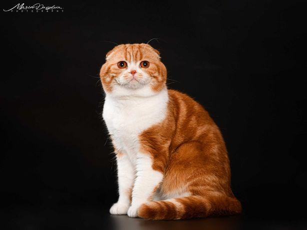 Кошечкам скоттиш страйт предлагает вязки вислоухий красавчик