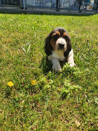 beagles tricolor