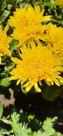 Куст хризантемы цветущий