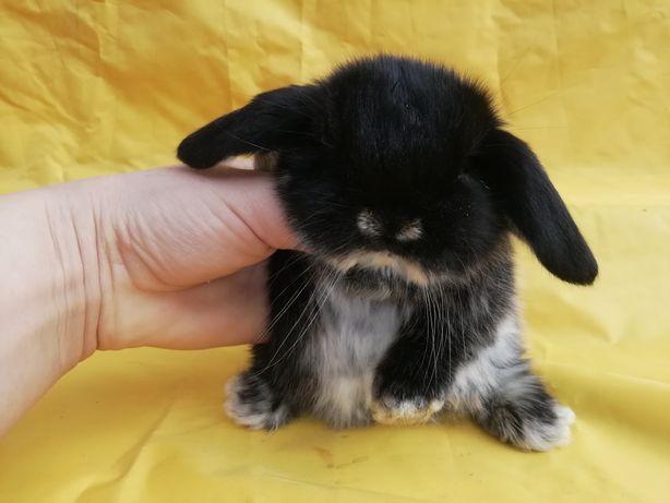 Карликовый декоративный мини кролик вислоухий баранчик