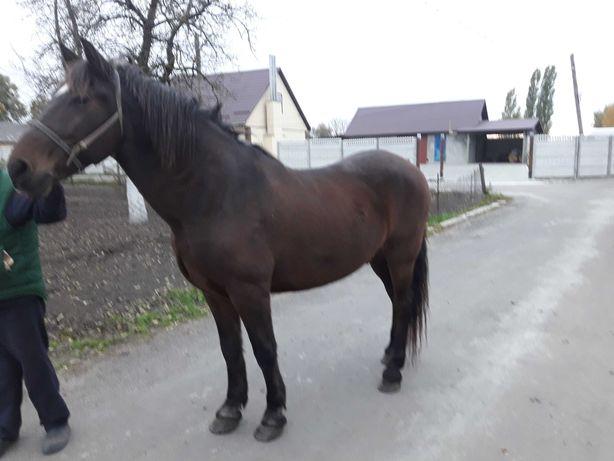 Продається Кінь спокійний