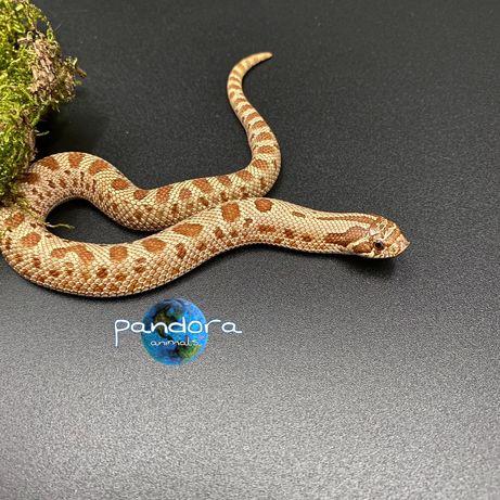 Свиноносый уж Heterodon nasicus ручная змея