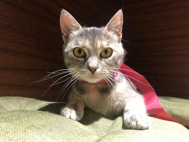 Отдам серую кошку , 8 месяцев