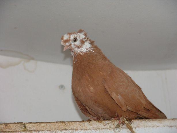 Благодарненские бойные голуби