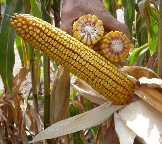 Sprzedam kukurydze mieloną ccm w bigbagach