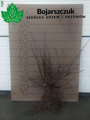 Sadzonki jagody kamczackiej kamchatka berry 'Wojtek&Zojka' JESIEŃ 2021