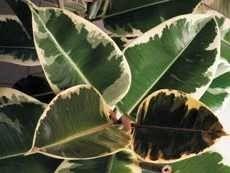 Фикус Робуста с пятнистыми листьями
