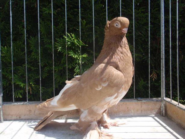 Barwnogłówki, Barwnogłówka Królewiecka  -  gołębie ozdobne.