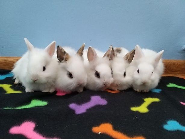 Króliki miniaturki lewki białe z łatkami