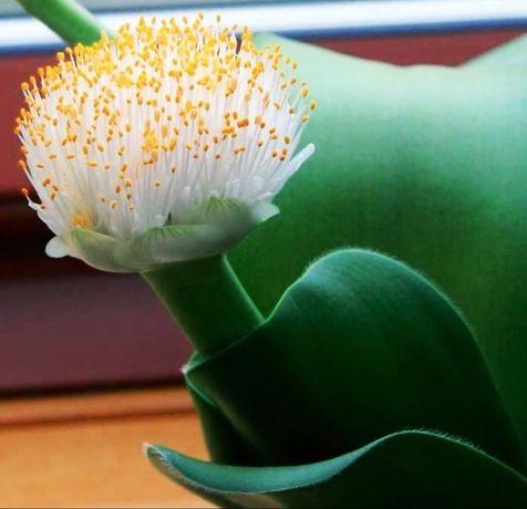 гемантус белоцветковый (олений язык или заячьи уши)!