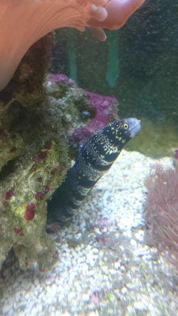 Echidna Nebulosa Murena akwarium morskie