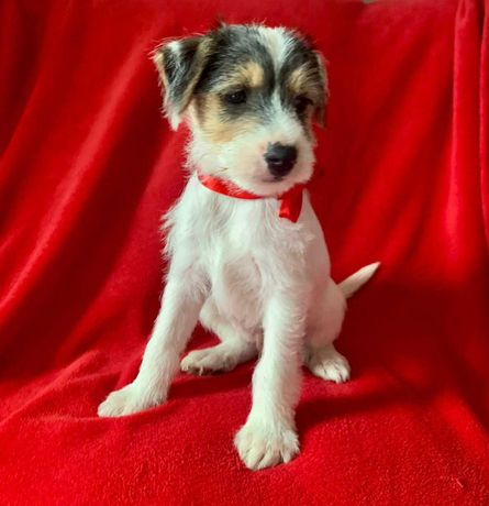 Jeden, jedyny Śliczny piesek Parson Russell Terrier Tricolor Jack
