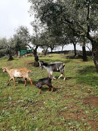 Cabritos Caseiros Raça Seam e Alpina de 35 Quilos a 50 Quilos NOVOS