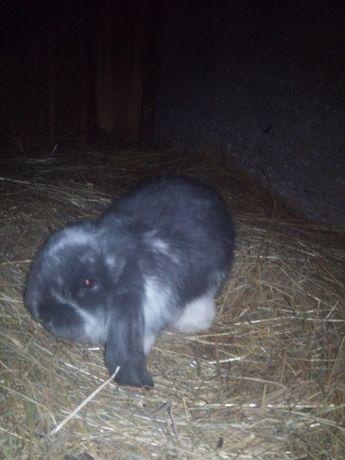 Witam posiadam do sprzedania młode króliki baranki Francuskie i siano