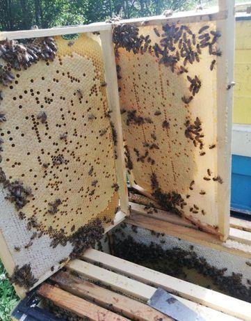 Матка Пчеломатка Карпатка