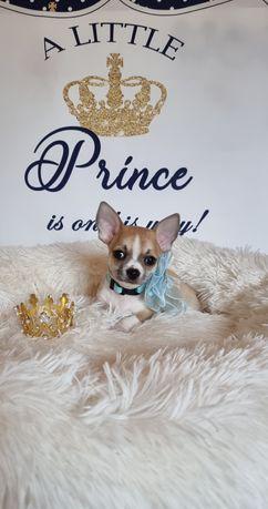 Chihuahua Macho lindissimo exemplar de pêlo curtinho